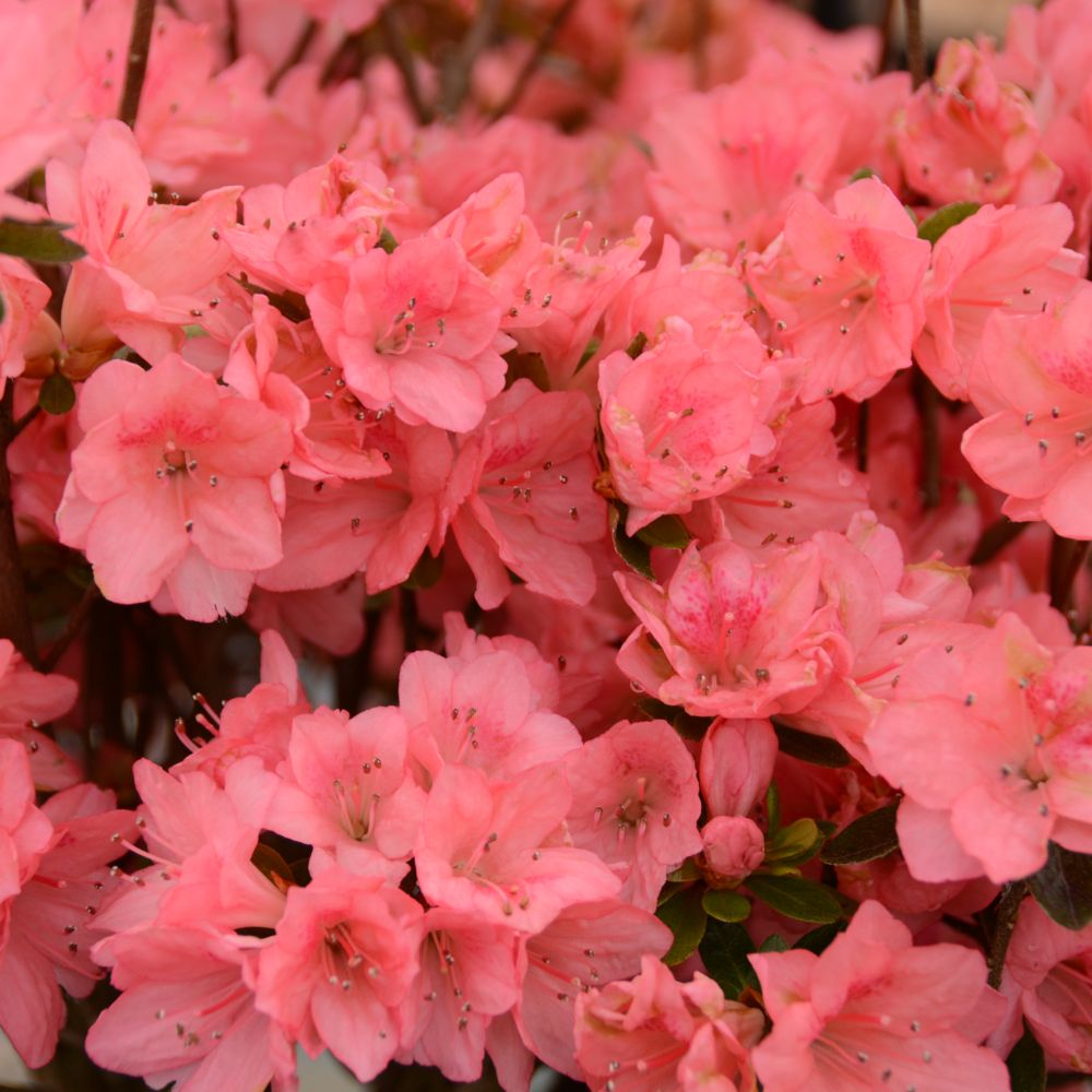 Azalée japonaise 'Blaauw's Pink'