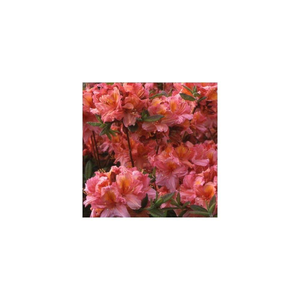 azal e de chine 39 berry rose 39 pot de 5 litres hauteur 40. Black Bedroom Furniture Sets. Home Design Ideas