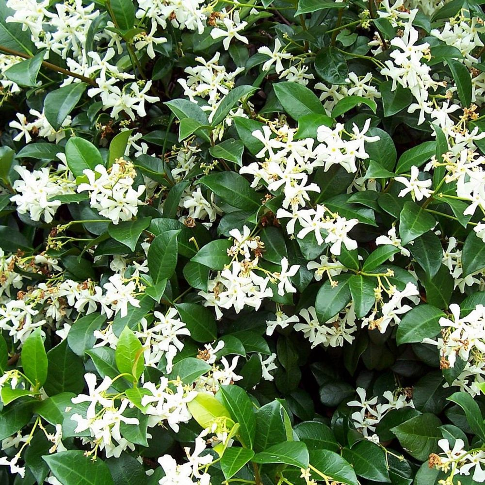 Jasmin persistant godet de 9 cm gamm vert for Plante exterieur feuillage persistant