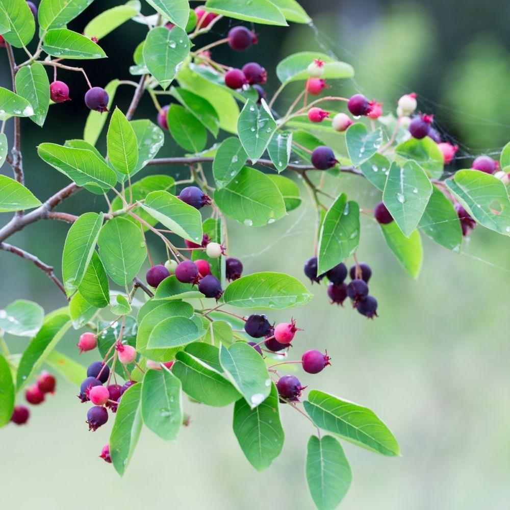 kit de haie fruiti re originale compos e de 8 arbustes buisson et gobelet racines nues sauf. Black Bedroom Furniture Sets. Home Design Ideas