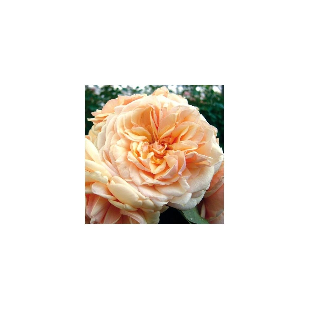 Rosier Generosa ® 'Morabito ®' – Rosier Guillot