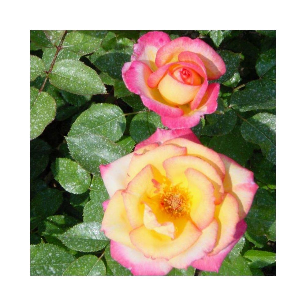 Rosier 'Roxane ®' Lapdal