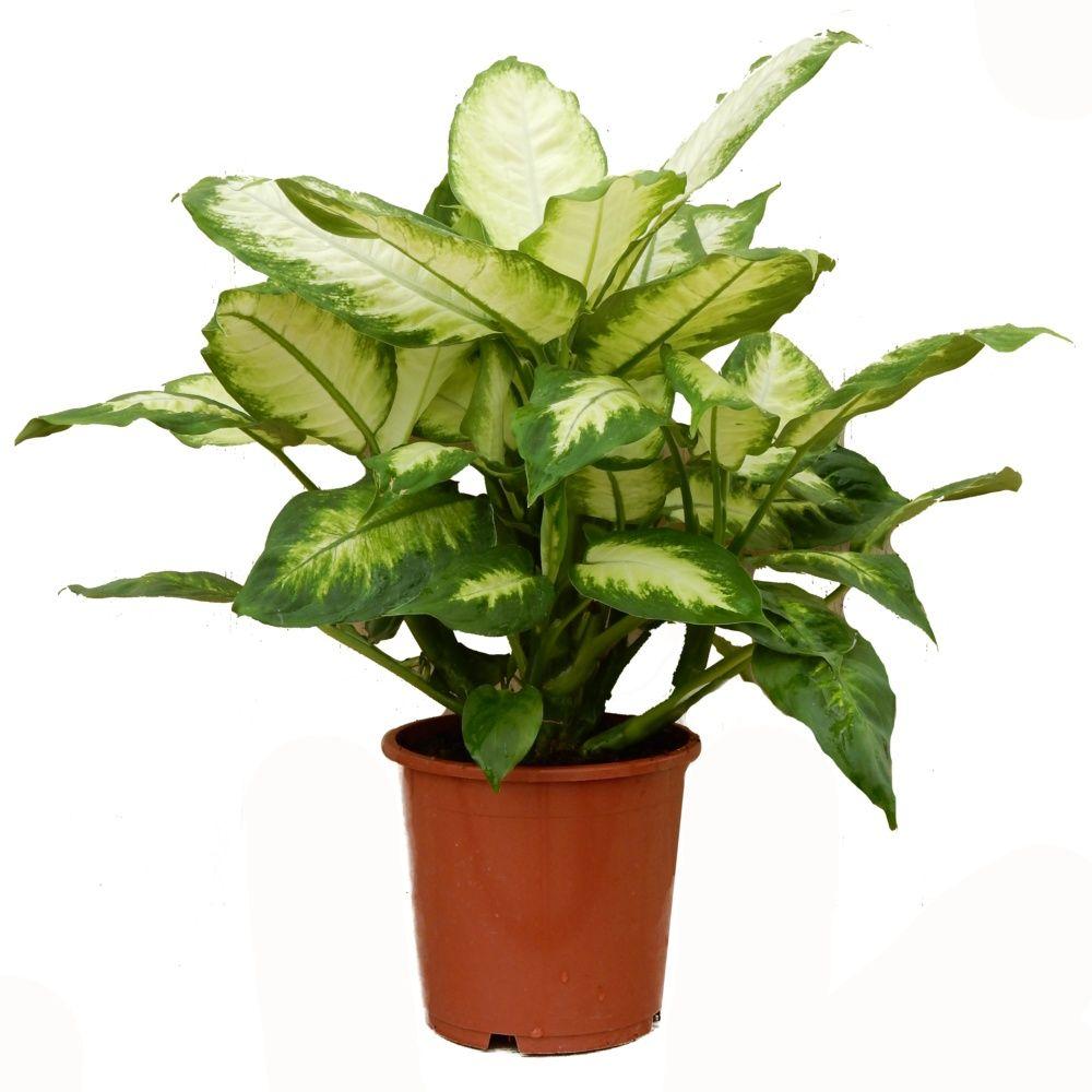 dieffenbachia camilla en pot de 17cm hauteur 55cm gamm vert. Black Bedroom Furniture Sets. Home Design Ideas