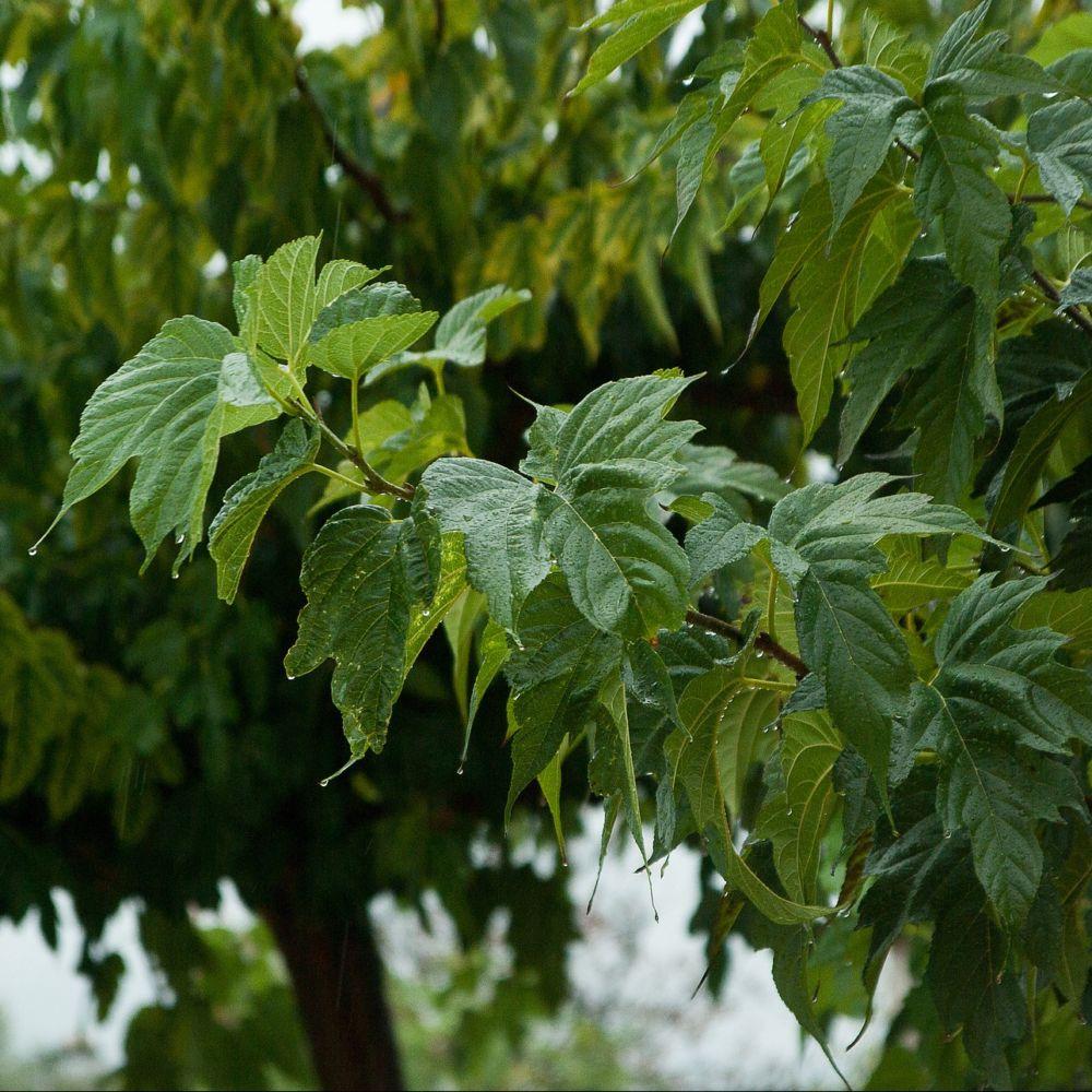 Murier Platane Fruitless Pot De 15 Litres Hauteur 150 200 Cm