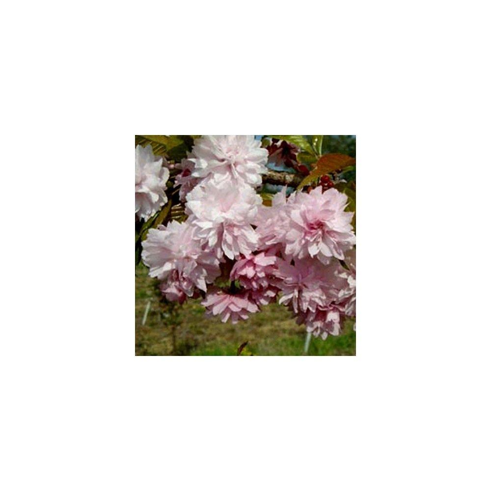 0023aca5cdd6 Cerisier à fleurs pleureur  Kiku Shidare Sakura  Pot de 30 litres ...