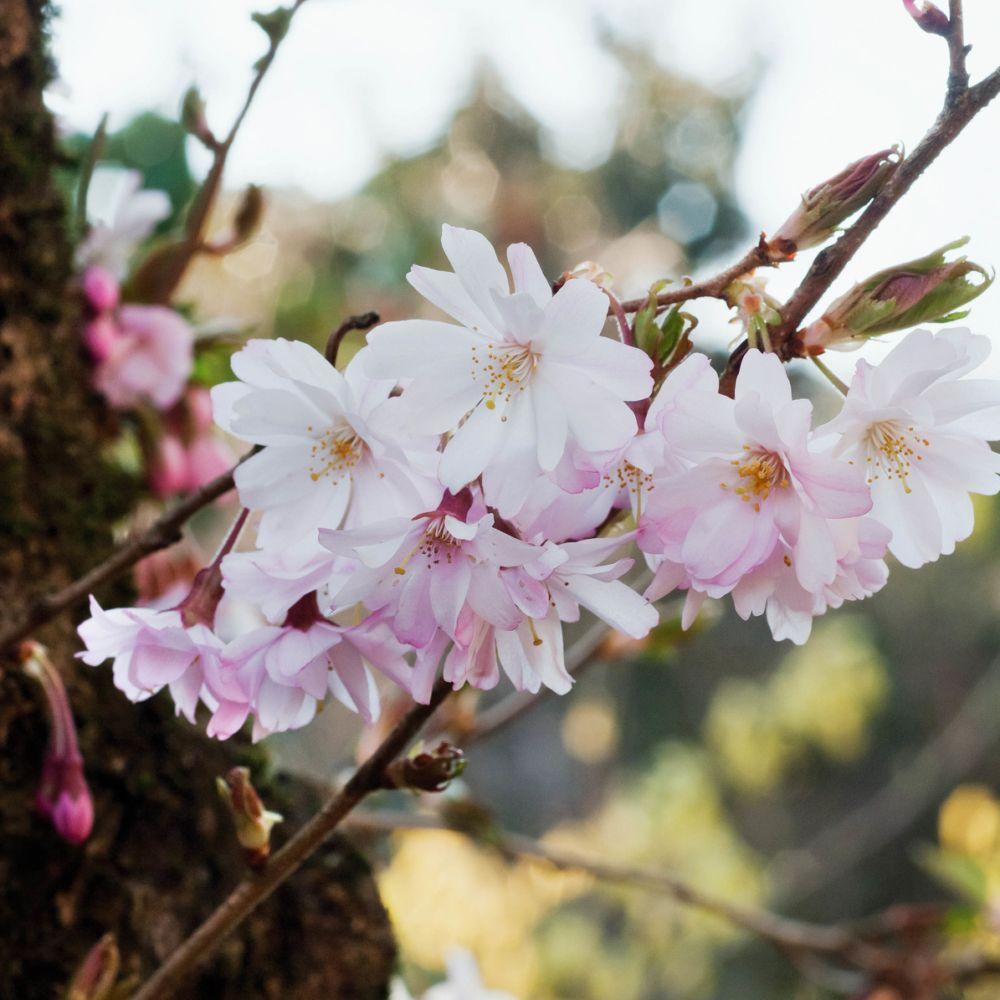 Cerisier à fleurs 'Autumnalis Rosea'