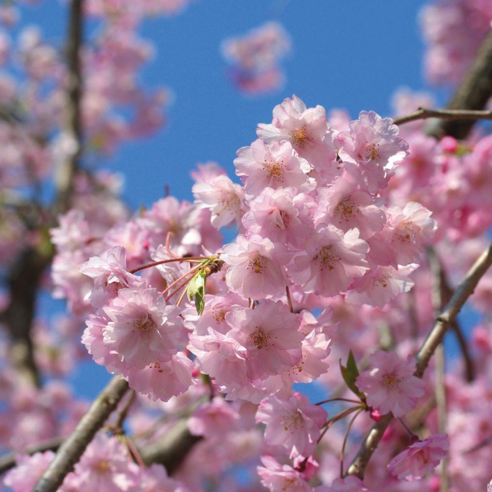 cerisier fleurs pleureur pot de 20 litres demi tige 8. Black Bedroom Furniture Sets. Home Design Ideas