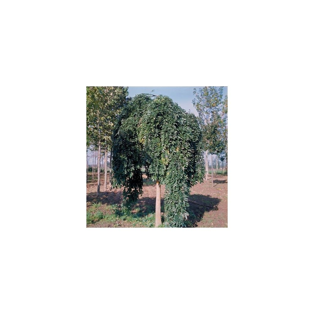 sophora pleureur pot de 20 litres, demi-tige 6/8 cm de circonférence