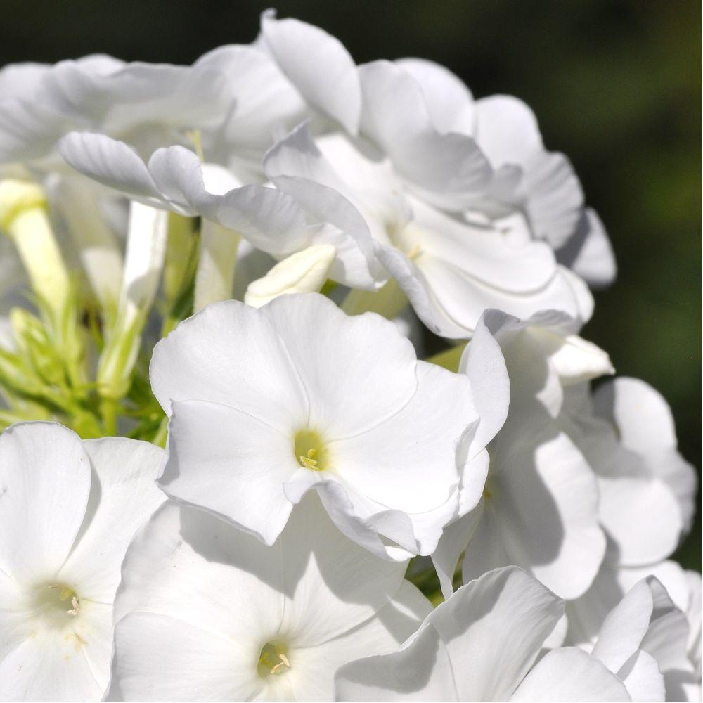 Phlox paniculata montfuji