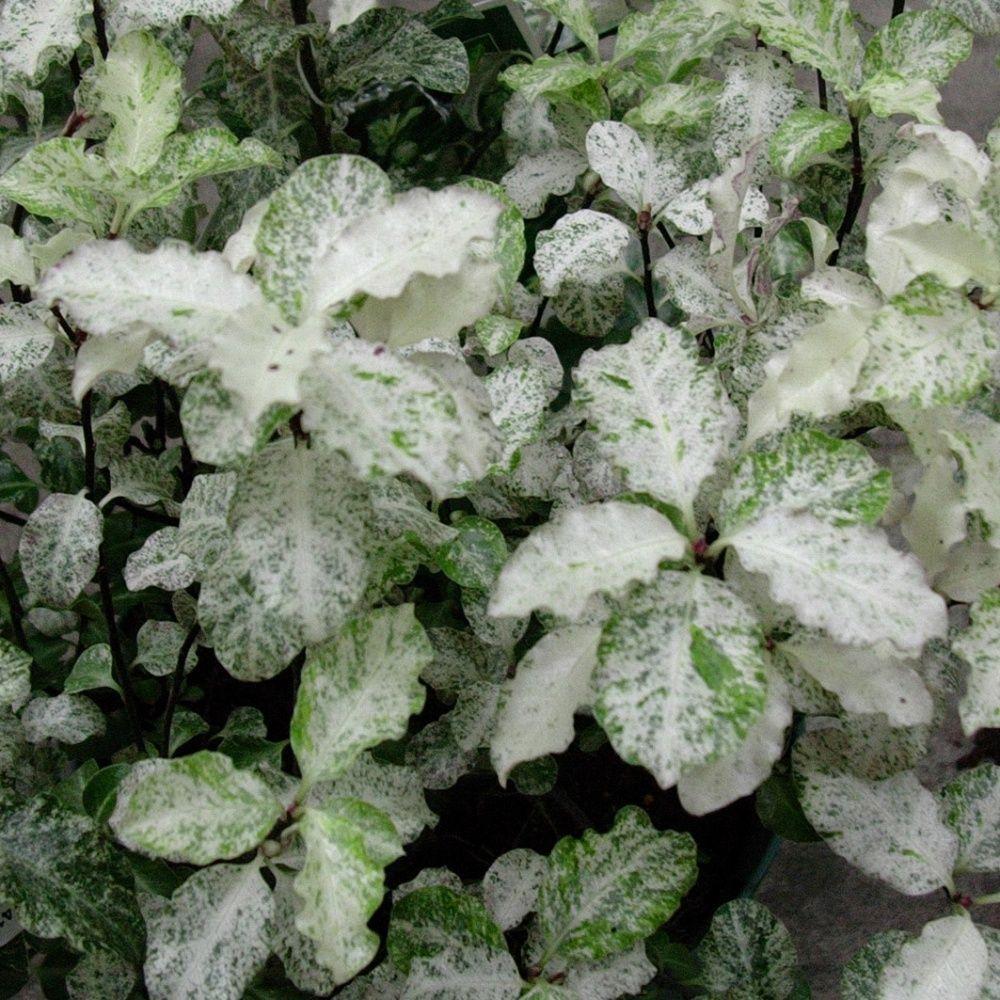 Pittosporum à petites feuilles 'Irène patterson'