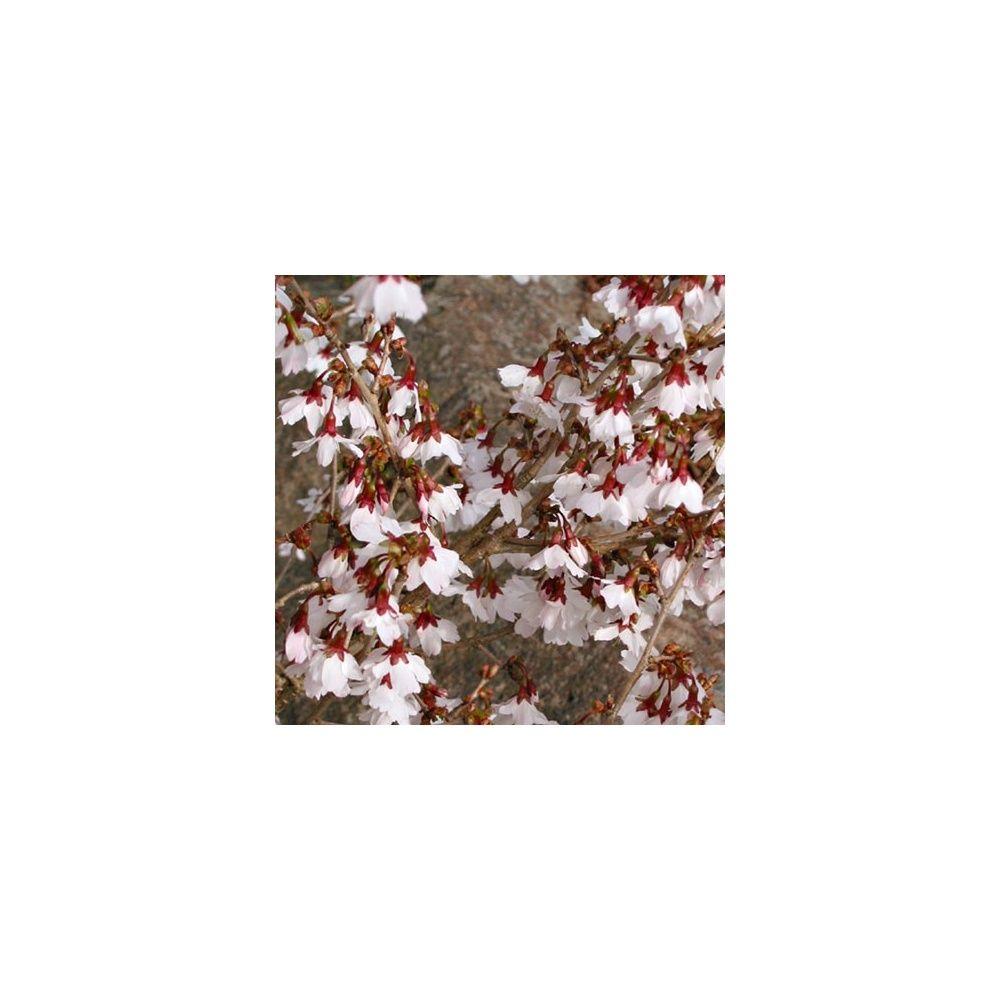 Cerisier à fleurs 'Kojo no Mai'