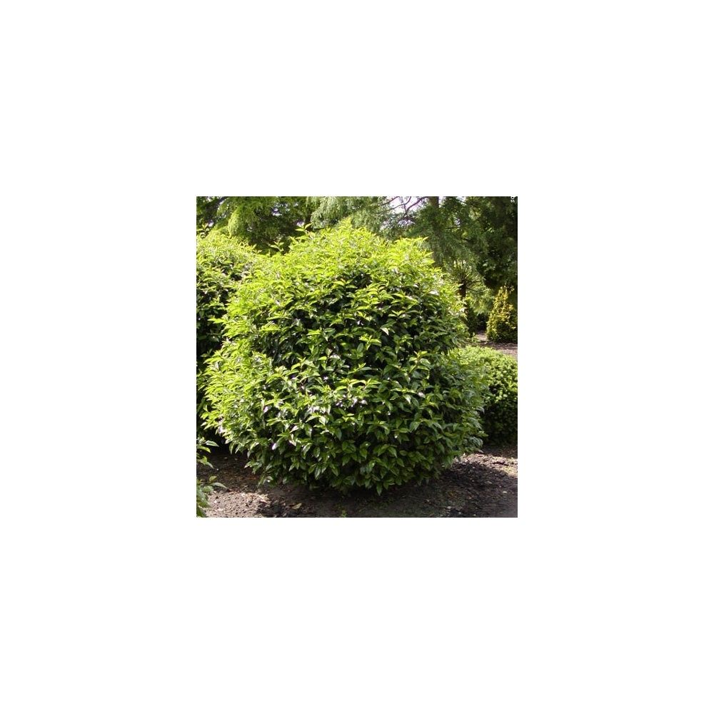 Laurier palme 'Rotundifolia'