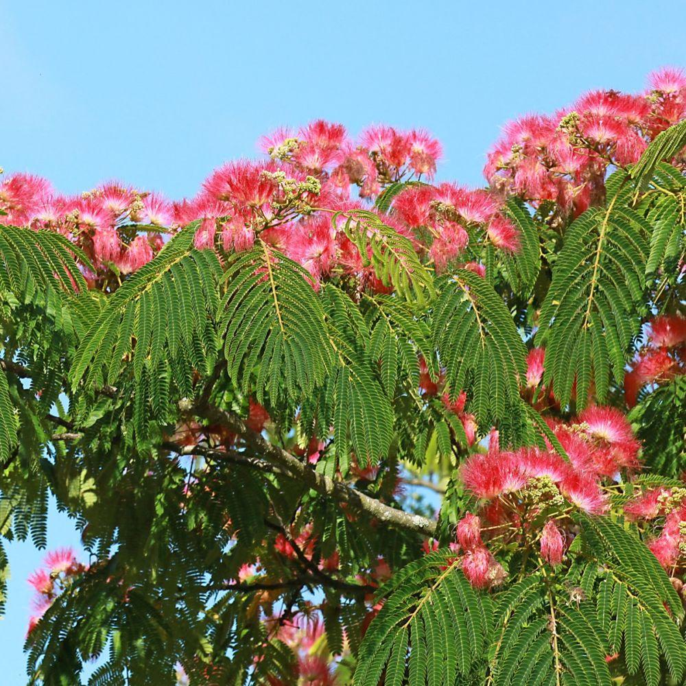Arbre soie ou albizia 39 ombrella 39 pot de 4 litres gamm vert - Petit arbre decoratif ...