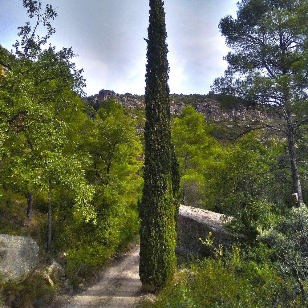 Cypr s d 39 italie 39 stricta 39 pot de 25 litres hauteur 200 - Cypres d italie totem ...