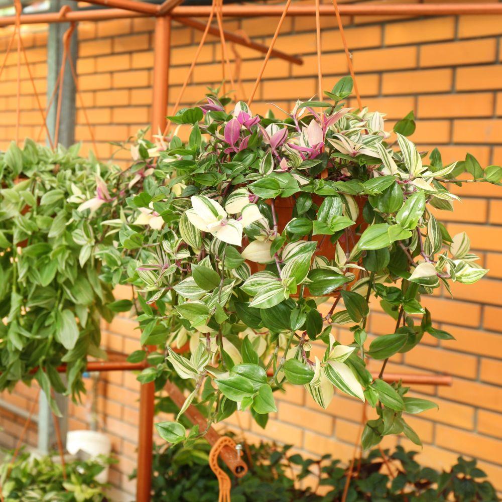 Tradescantia tricolor vari en pot de 14 cm gamm vert - Code avantage plantes et jardins ...