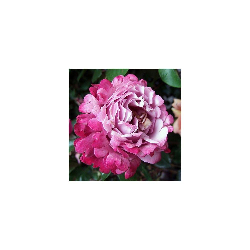 Rosier 'Muriel Robin ®' Oracharpam