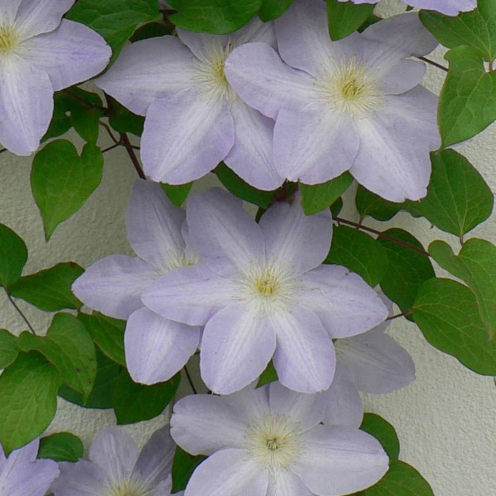Clematite SUCCESS ® Lavender 'Tra27'