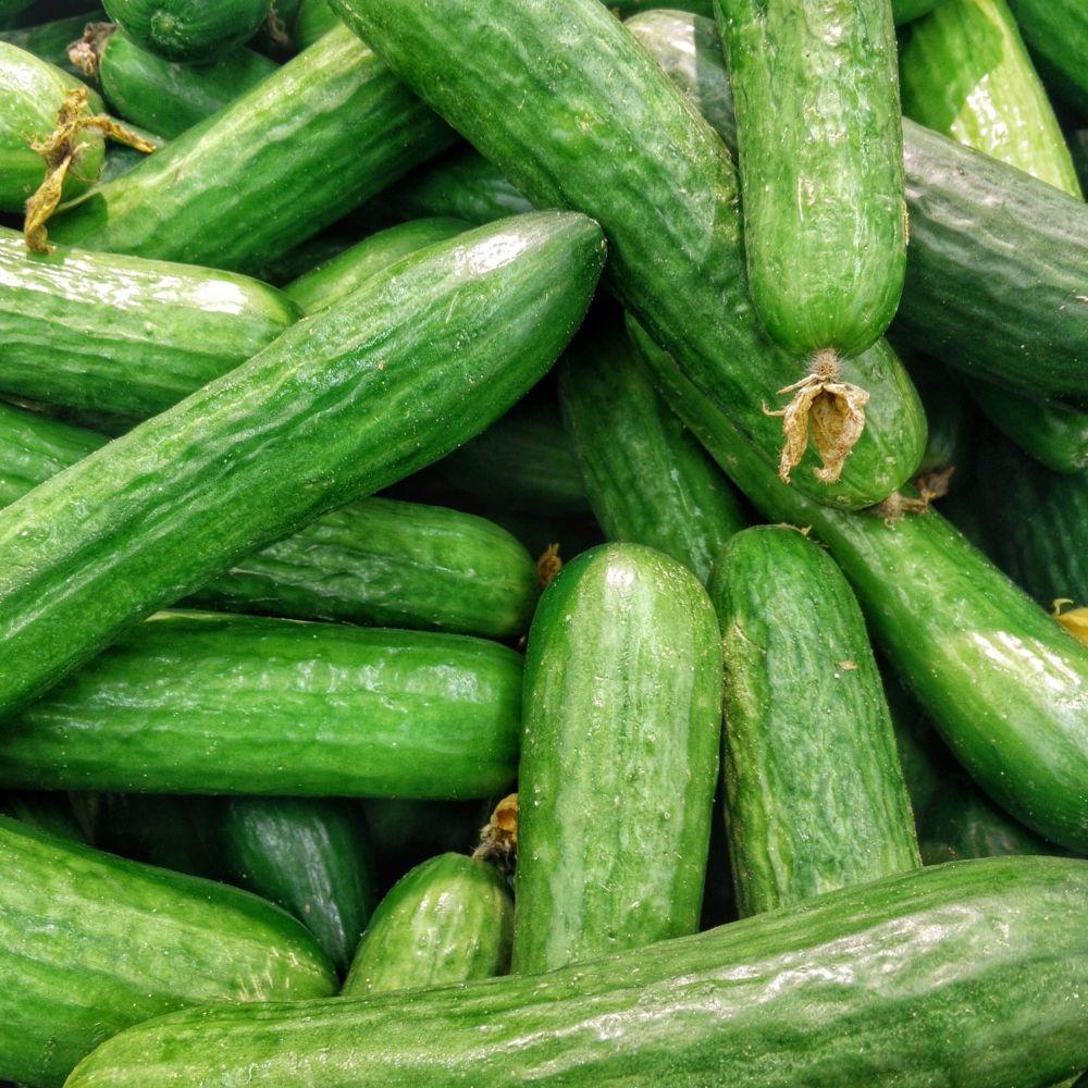 Concombre vert long maraîcher Kalunga Pot de 10 cm - Gamm Vert