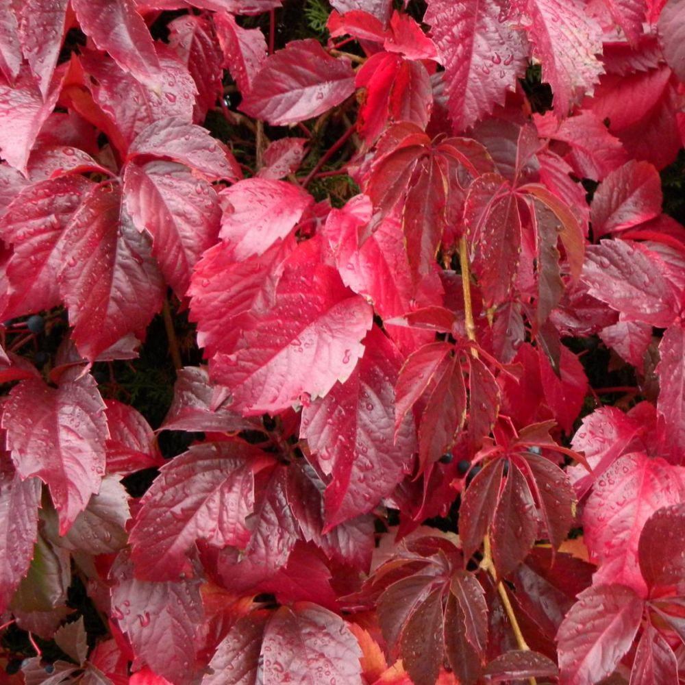 Vigne vierge quinquefolia