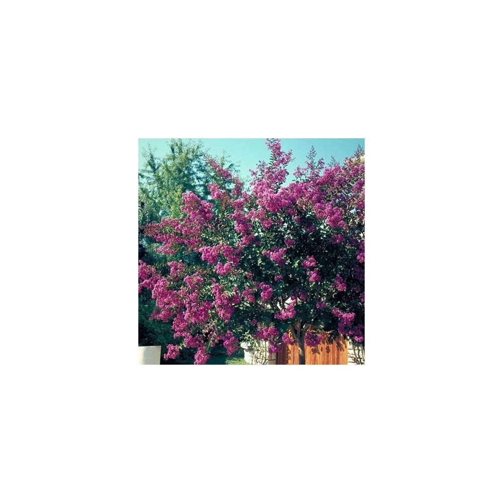 Lagerstroemia 'Terre Chinoise ®'