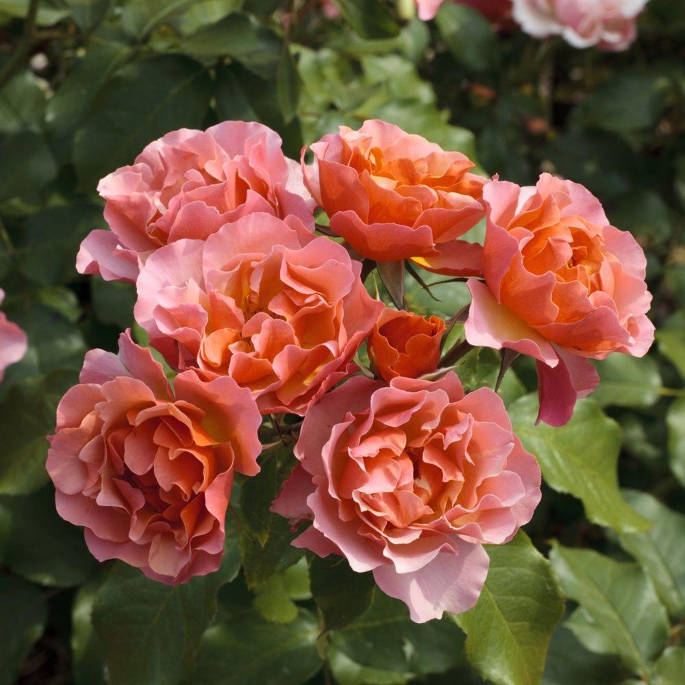 Rosier 'Jean Cocteau ®' Meikokan – Rosier Meilland