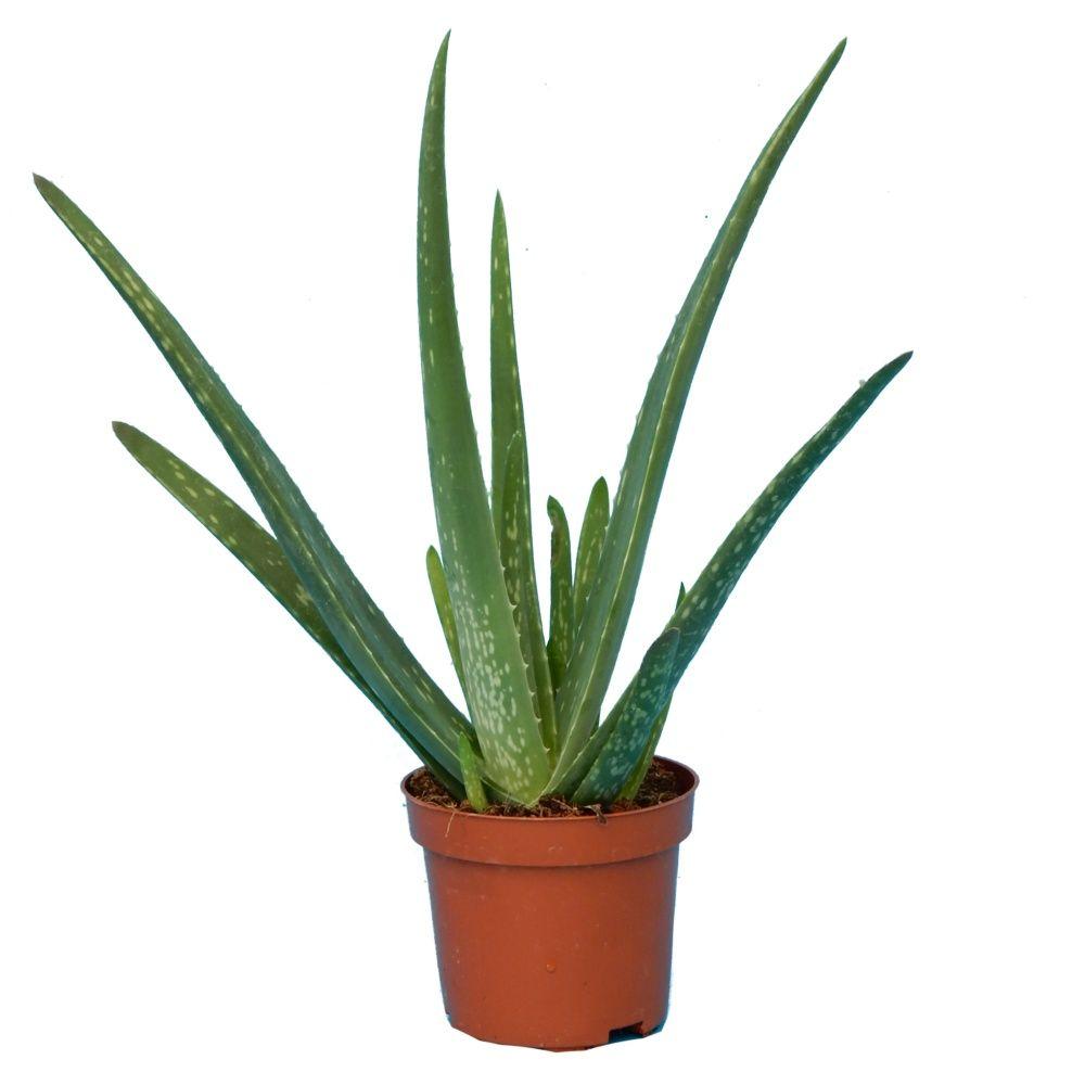 Aloe vera pot de 10 cm gamm vert - Aloe vera en pot ...