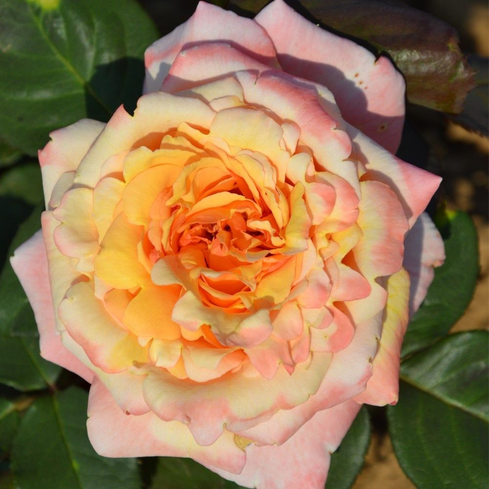 Rosier 'Tahitian Sunset ®' – Rosier Guillot