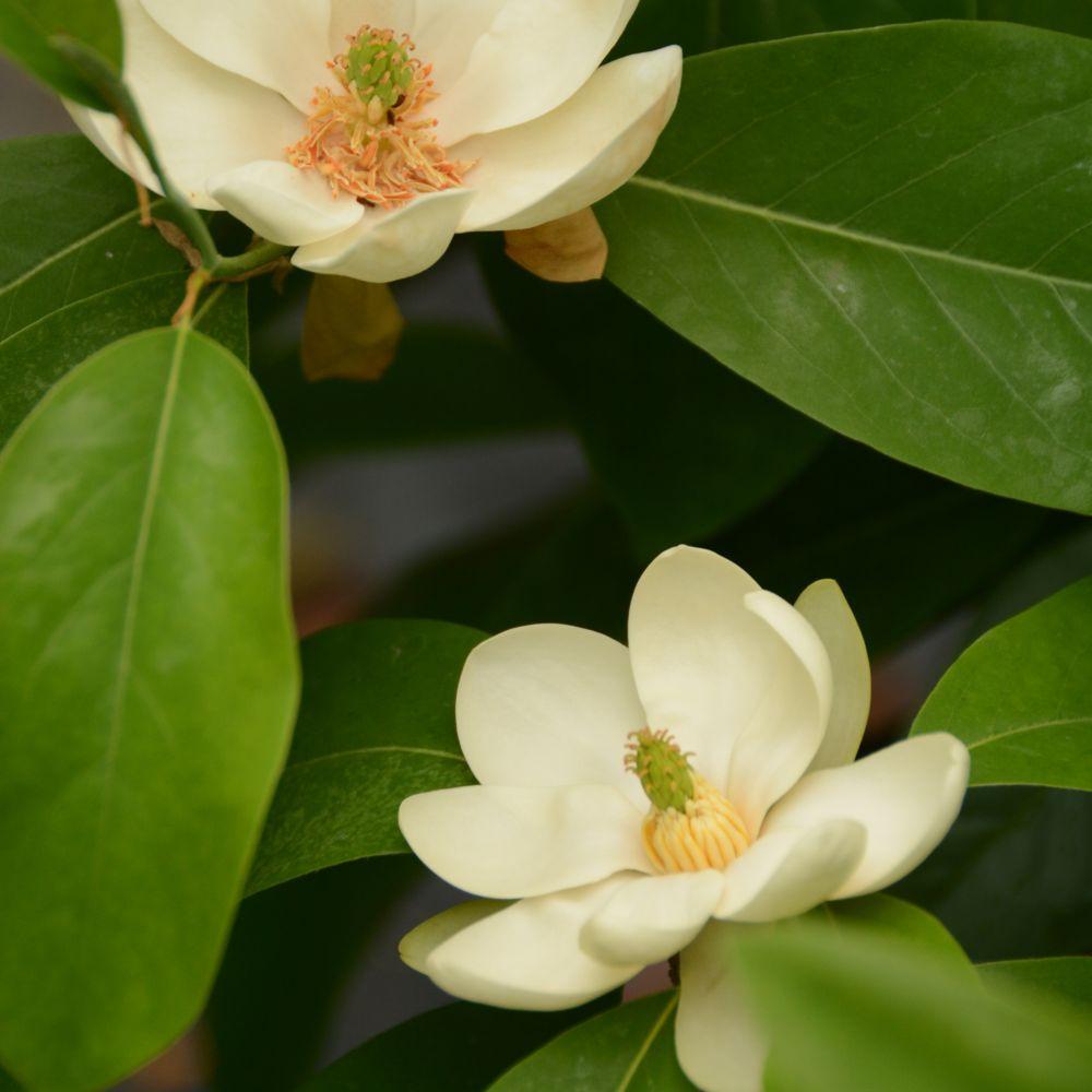 Magnolia virginiana 'Glauca'