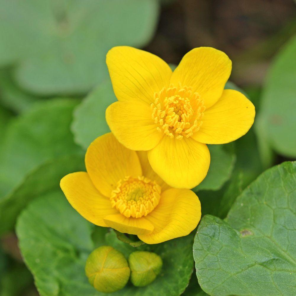 Plante aquatique Caltha palustris – Souci d'eau