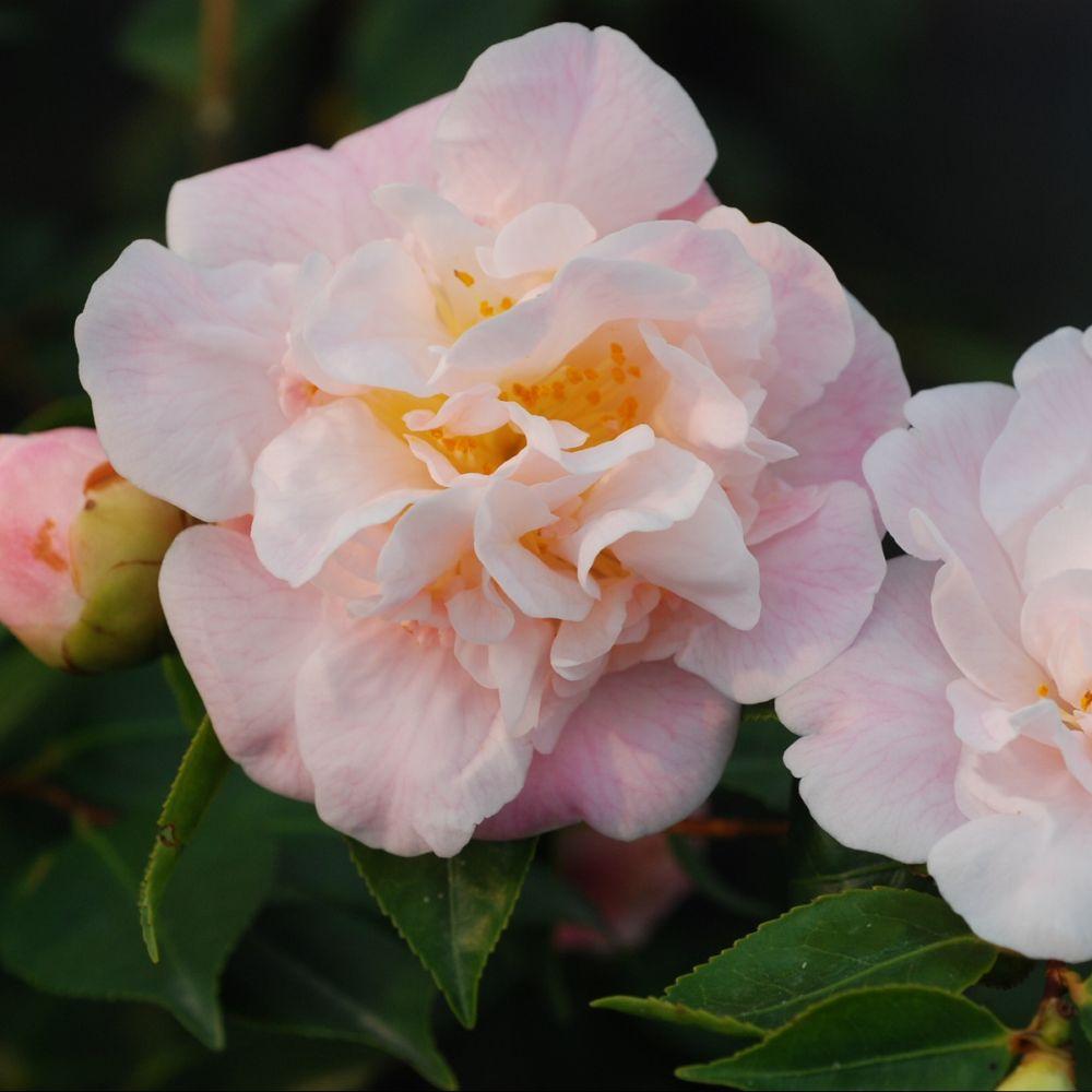 Camélia champêtre 'High Fragrance'