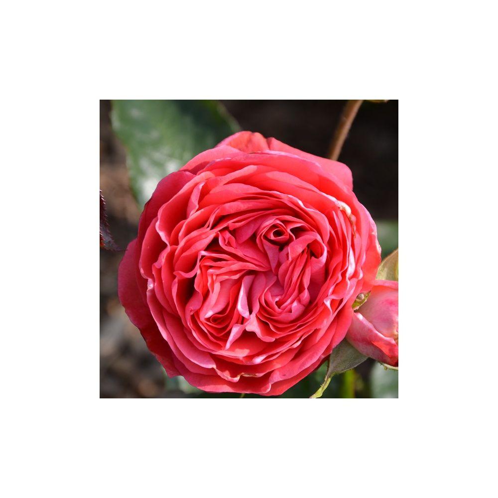 Rosier Generosa ® 'Belle de Dom ®' – Rosier Guillot