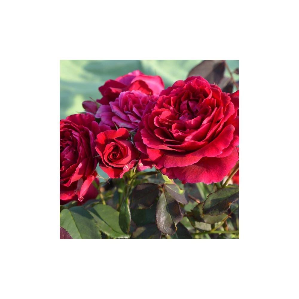 Rosier Generosa ® 'Dino de Laurentiis ®' – Rosier Guillot
