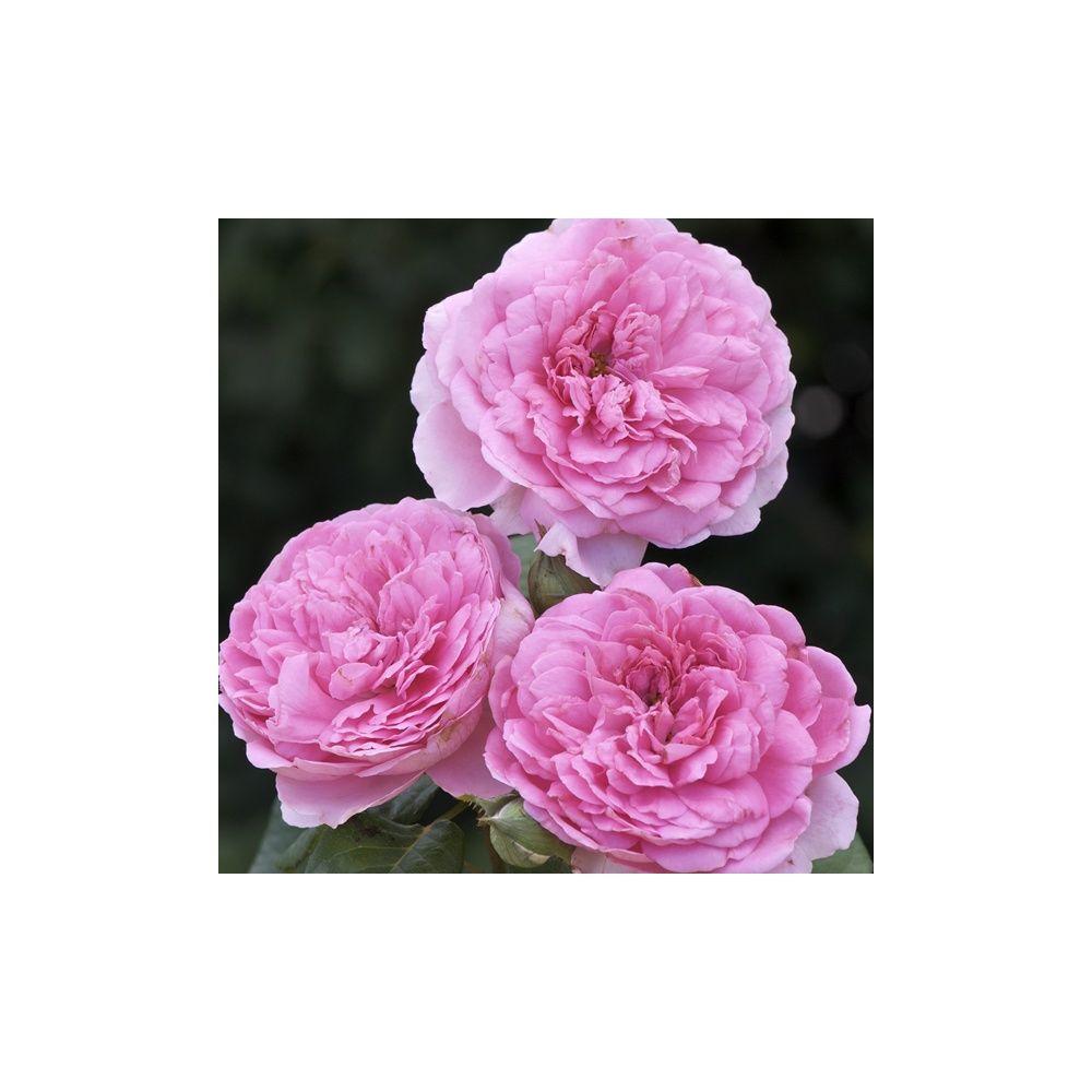 Rosier Generosa ® 'Elodie Gossuin ®' – Rosier Guillot