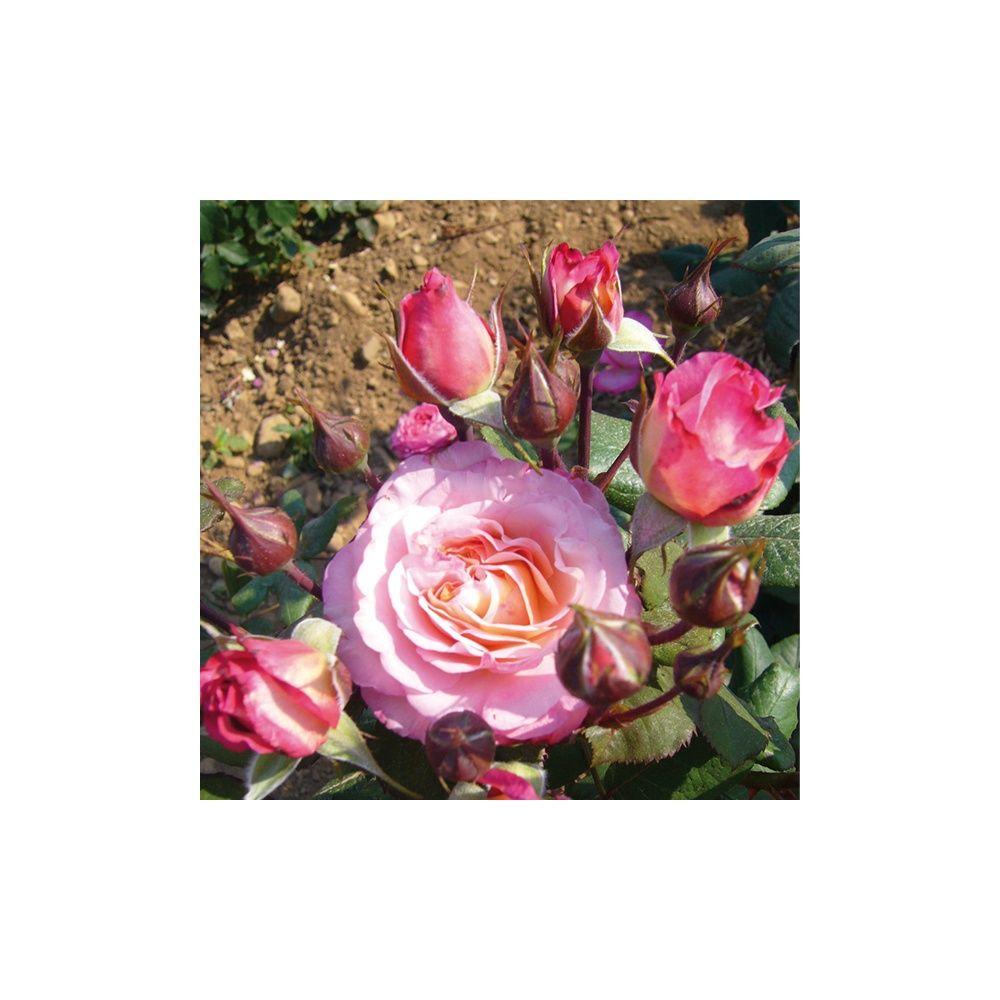 Rosier Generosa ® 'Mme de StaÃ«l ®' – Rosier Guillot