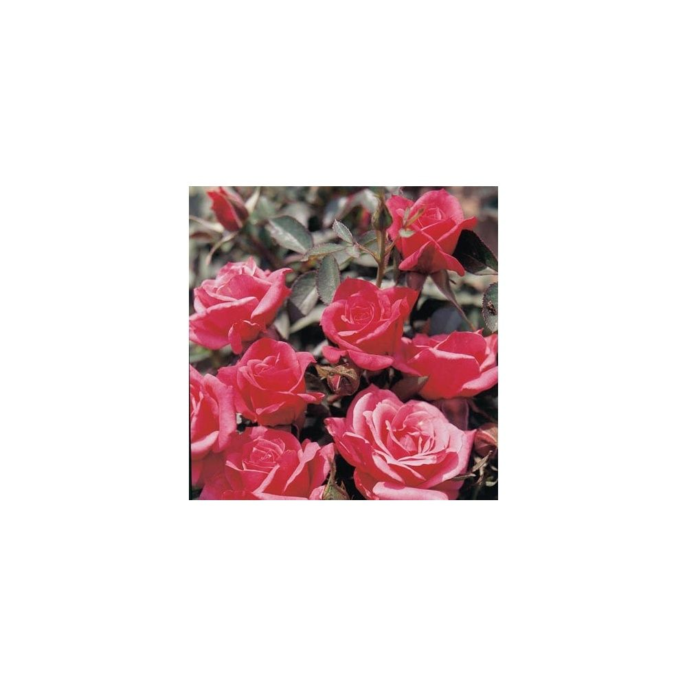 Rosier miniature 39 raspberry punch 39 rosier guillot - Rosier miniature exterieur ...