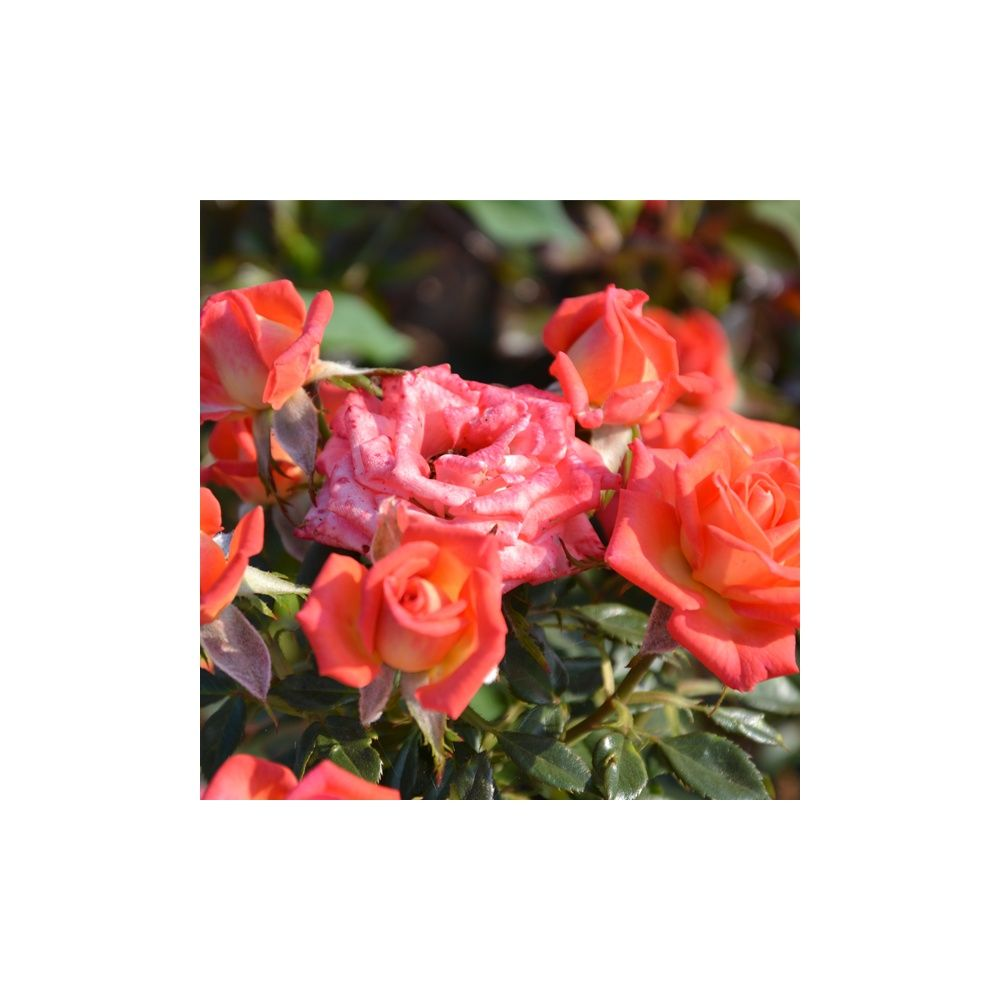 Rosier miniature 'Tropical Twist ®' – Rosier Guillot