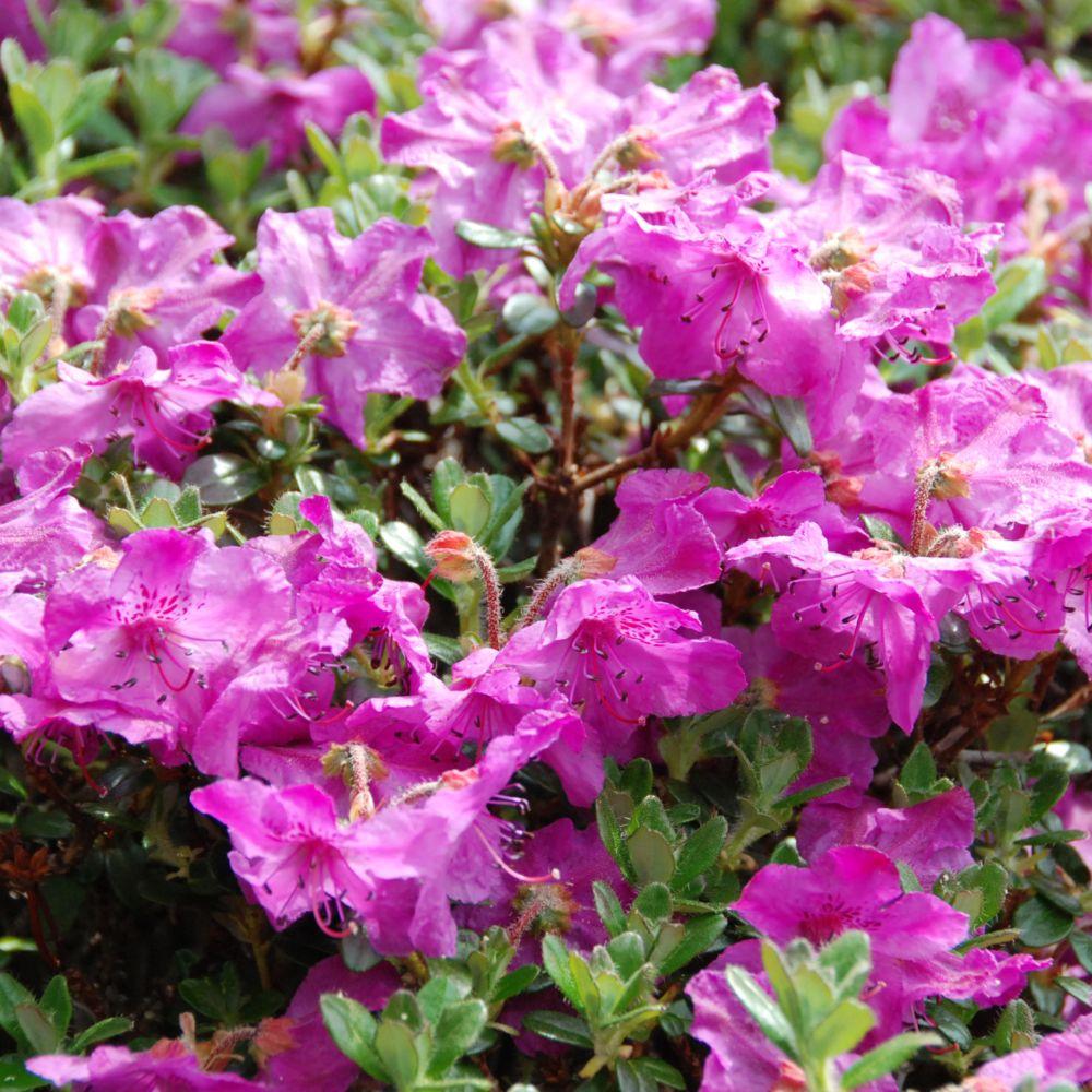 Rhododendron nain 'Nitens'