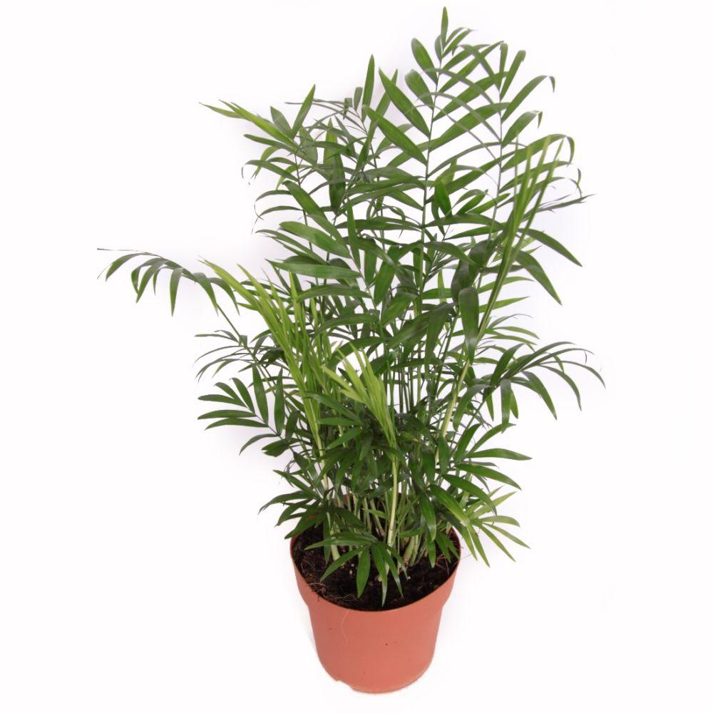 palmier nain chamaedorea elegans en pot de 17cm hauteur 65cm gamm vert. Black Bedroom Furniture Sets. Home Design Ideas