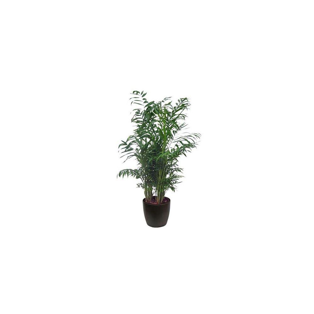 palmier nain chamaedora elegans en pot de 24cm hauteur. Black Bedroom Furniture Sets. Home Design Ideas
