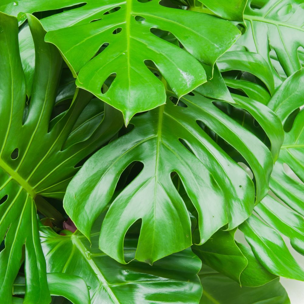 philodendron monstera en pot de 21cm hauteur 75cm gamm vert. Black Bedroom Furniture Sets. Home Design Ideas