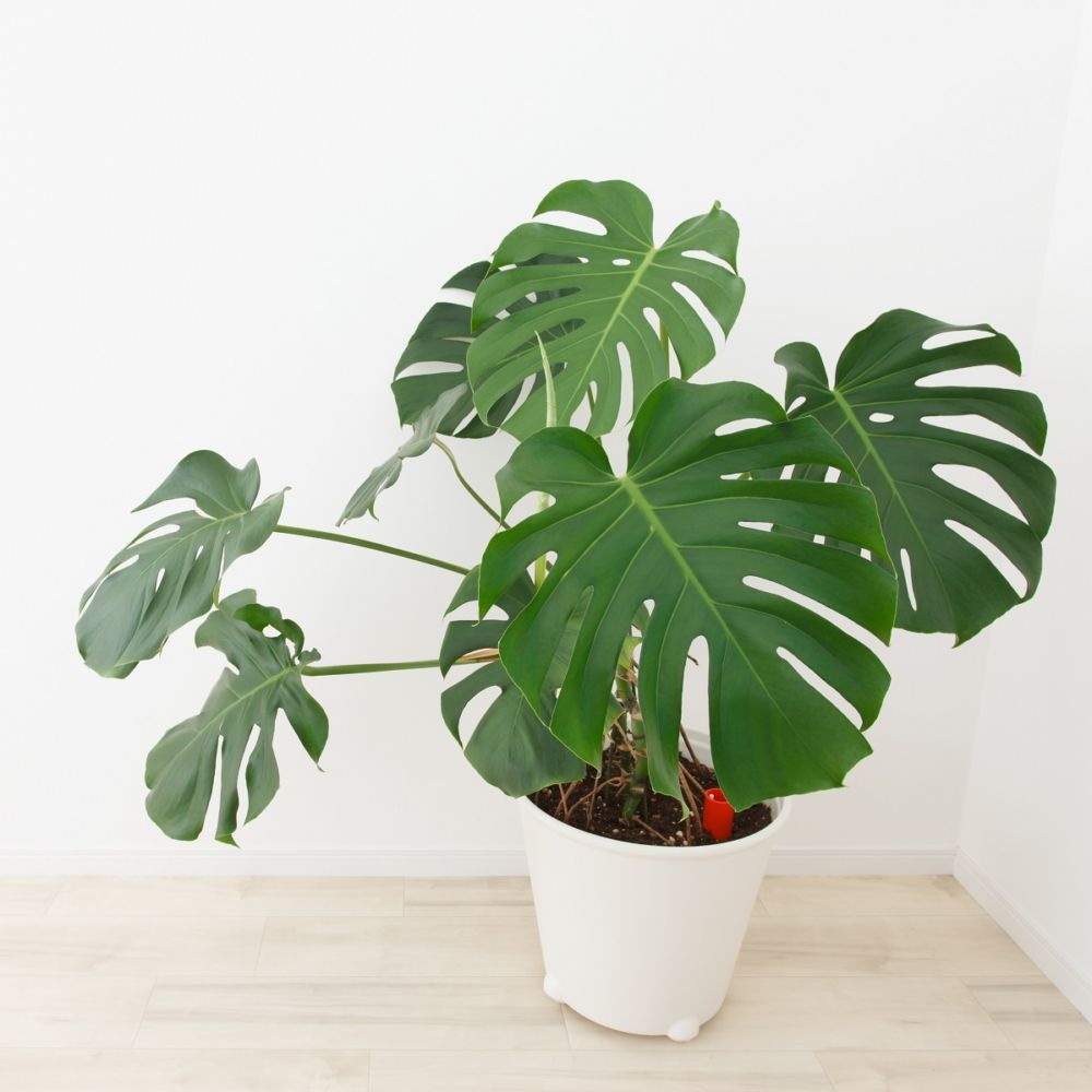 Philodendron Monstera En Pot De 21cm Hauteur 75cm Gamm Vert