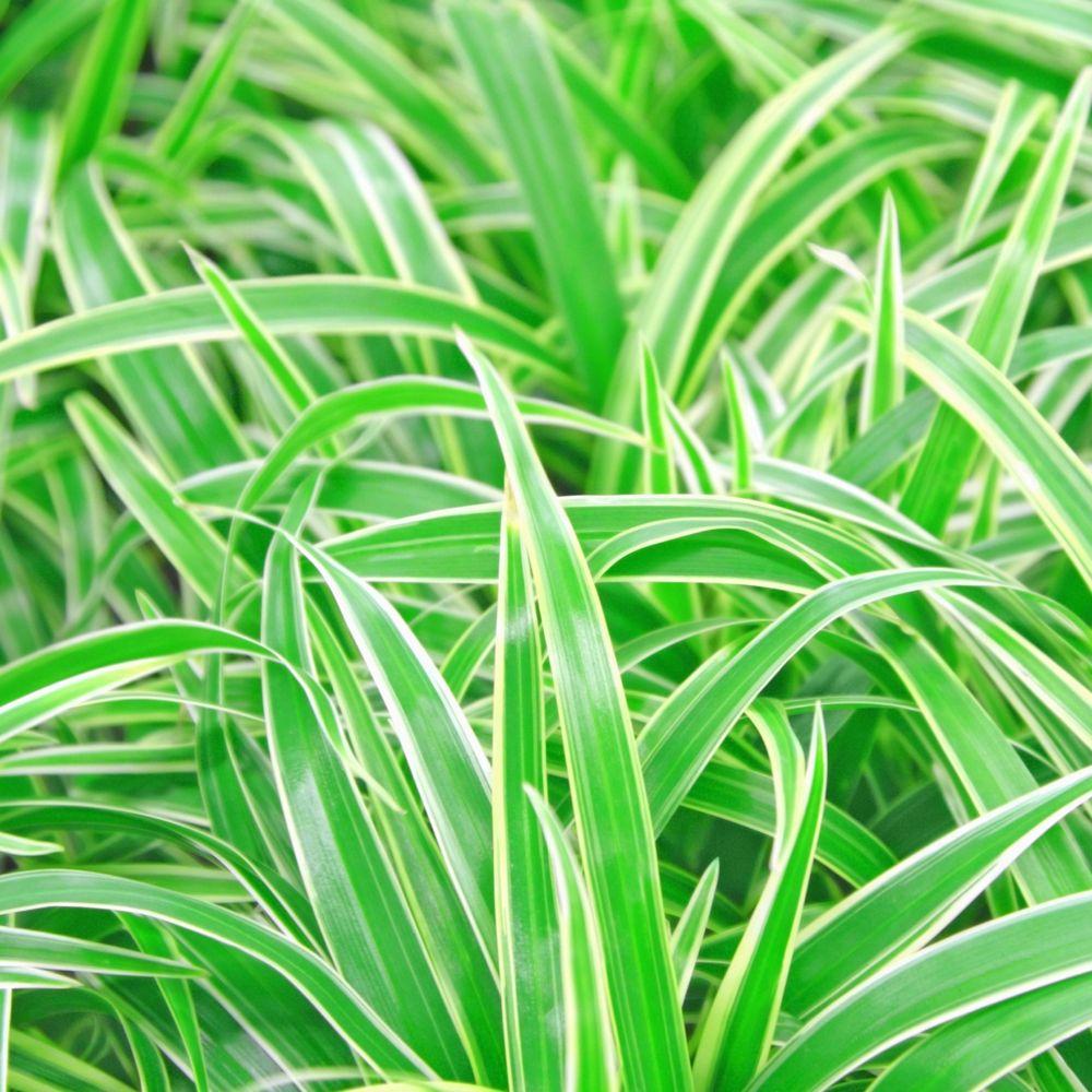 chlorophytum comosum ocean en pot de 15cm hauteur 30cm gamm vert. Black Bedroom Furniture Sets. Home Design Ideas