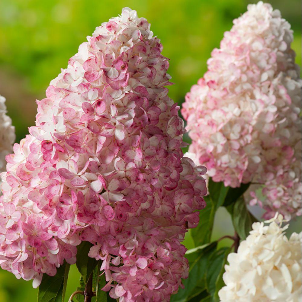 hortensia paniculata 39 vanille fraise 39 renhy pot de 3 litres gamm vert. Black Bedroom Furniture Sets. Home Design Ideas
