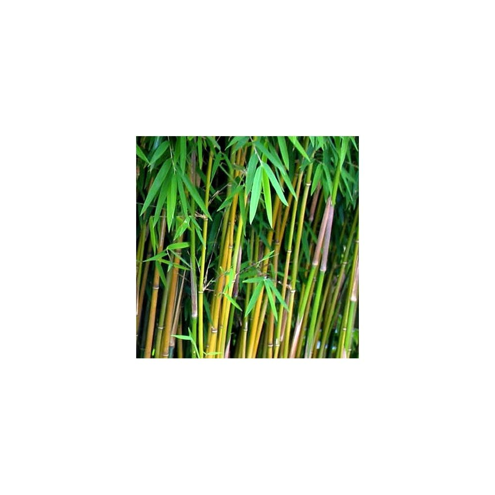 Petit bambou : Fargesia 'Jiuzhaigou'