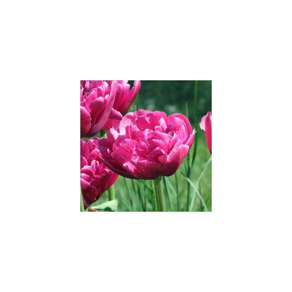 Tulipe 'Margarita'