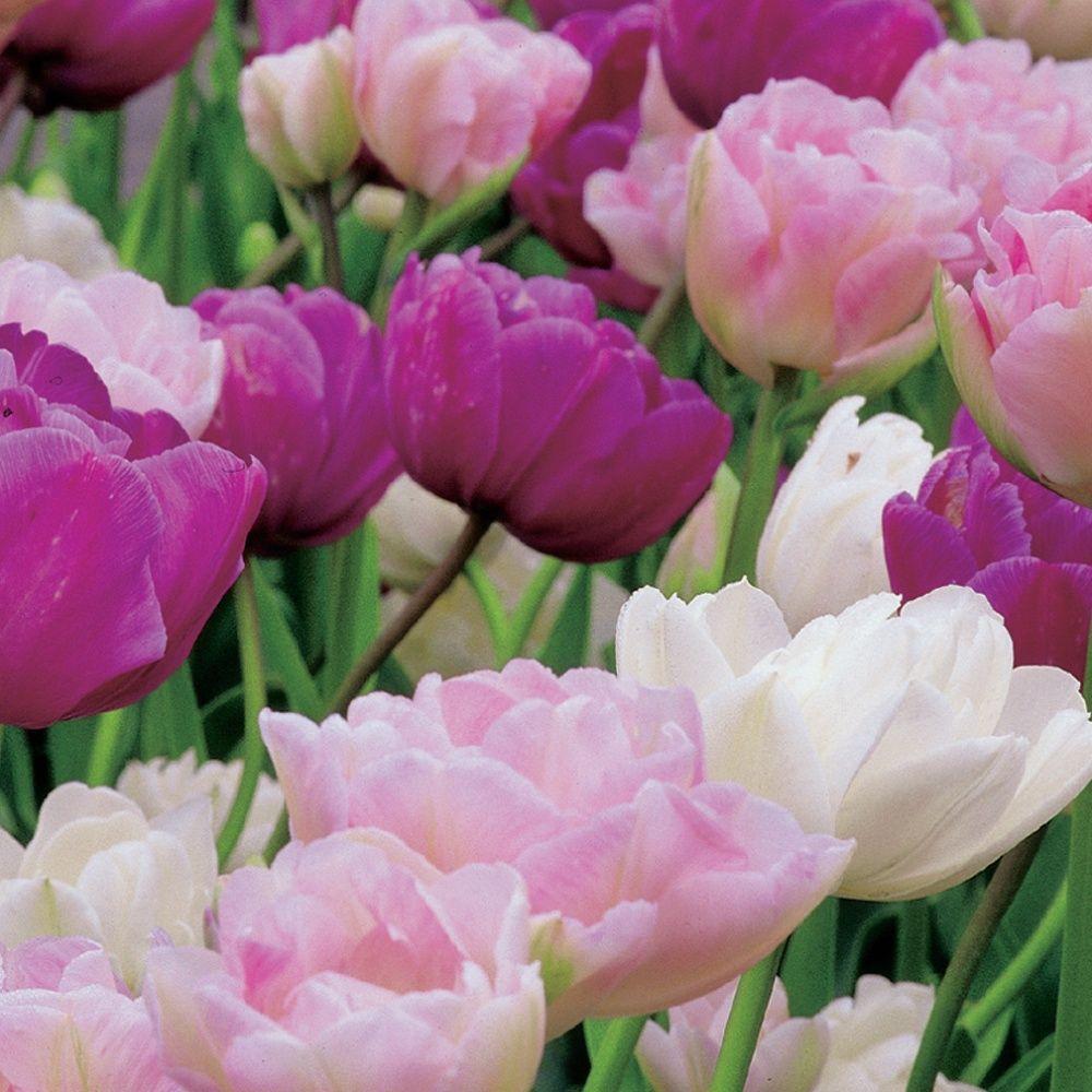 5391bc7f59a3 tulipe pivoine