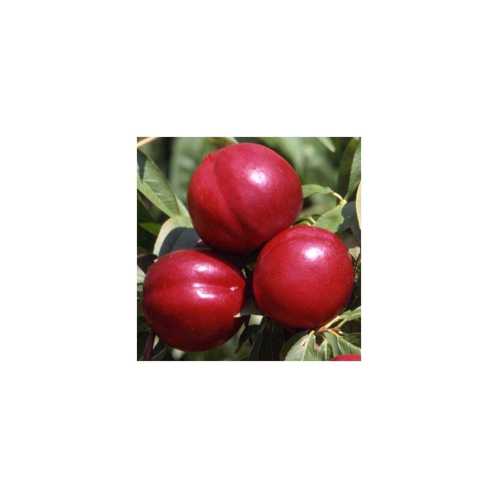 Nectarinier autofertile 'Morton' en pot, taille en quenouille.