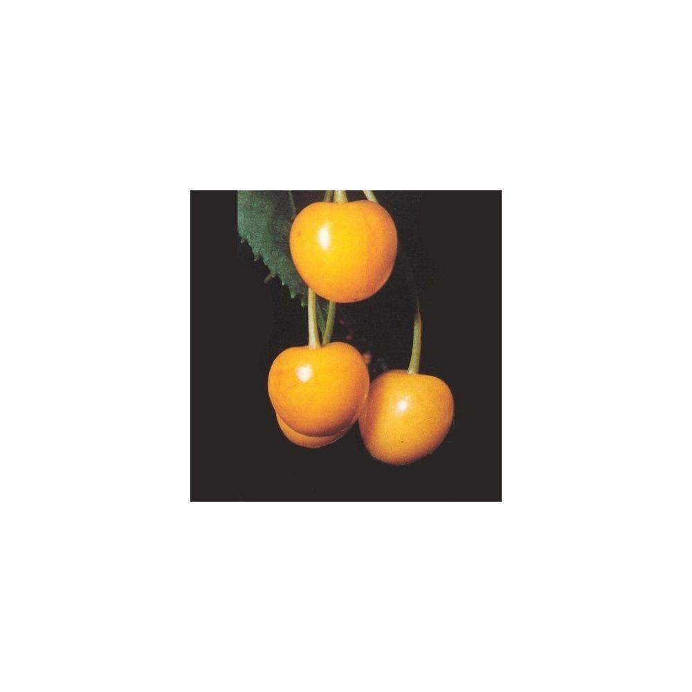Cerisier 'Jaune de Butner': taille en demi-tige en pot