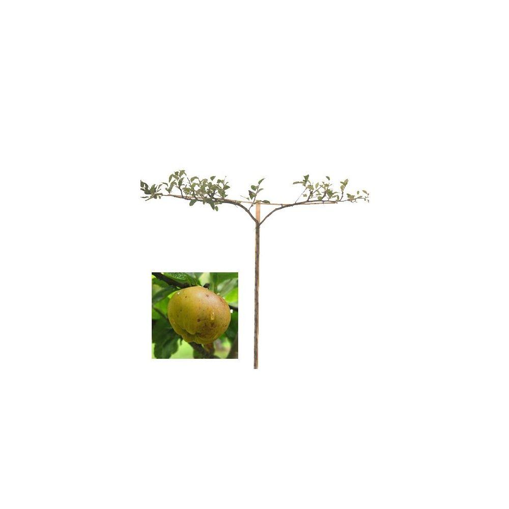 Pommier 'Calville Blanc': taille en cordon 0,80