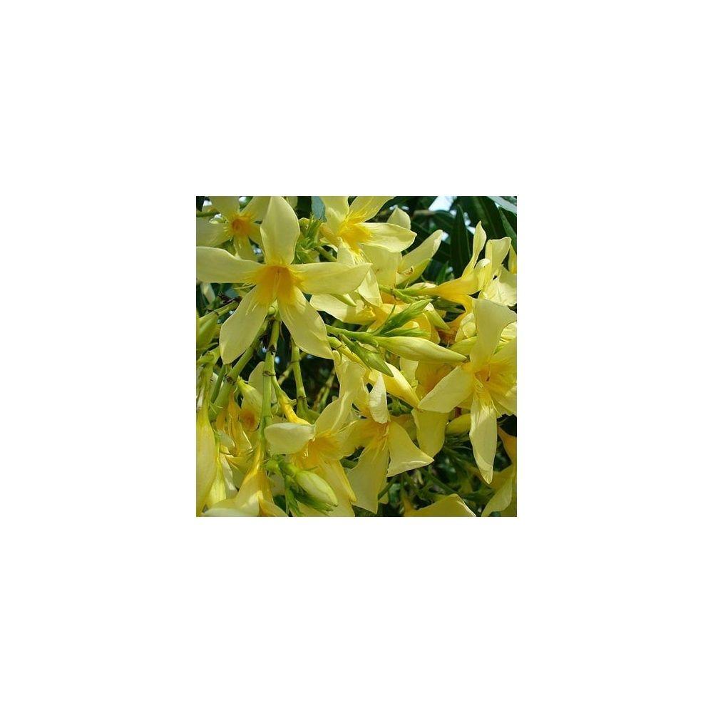 Laurier rose fleurs jaunes pot de 10 litres hauteur 60 80 cm gamm vert - Laurier fleur en pot ...